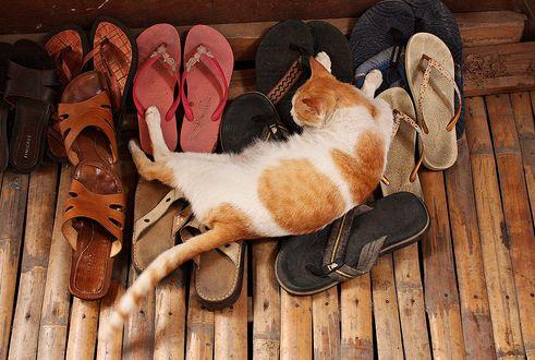 cica, macska, cipő