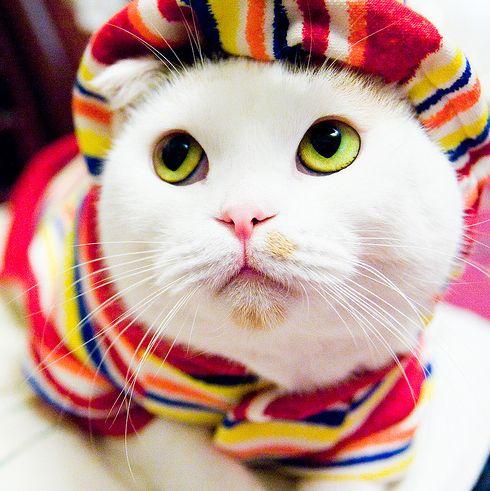 nőstény, macska, cica