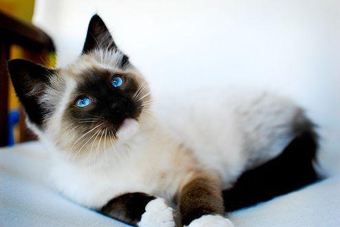 ragdoll macska, cica, zokni