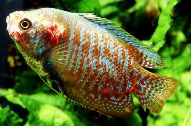 akvárium, tuberkulózis