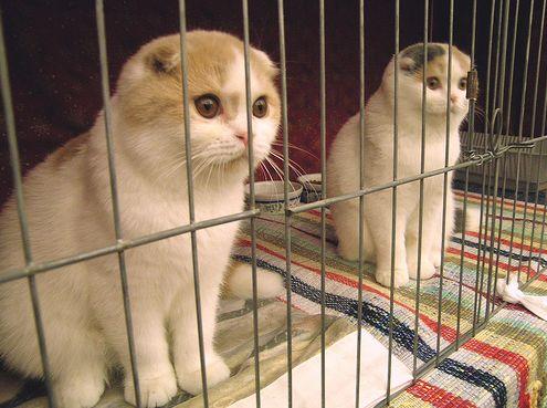 skót lógófülű macska, cica
