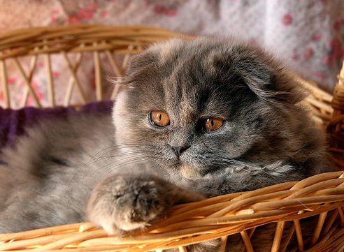 cica, lógófülű macska