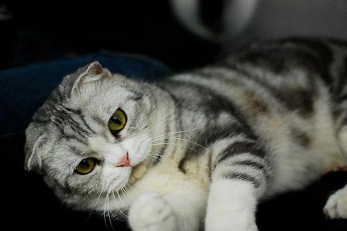 skót lógófülű, macska