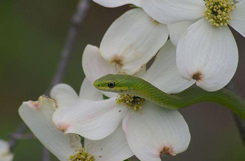 zöld fűsikló, kígyó, terrárium