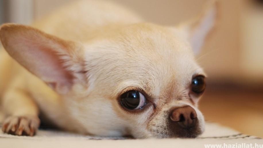 A kutyák szeparációs szorongása: hogyan ismerhetjük fel, mit tehetünk?