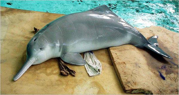 folyami delfin, delfin