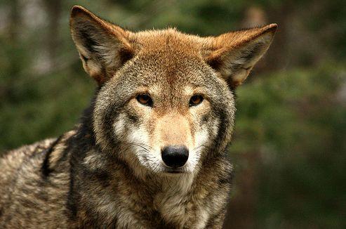 vörös farkas