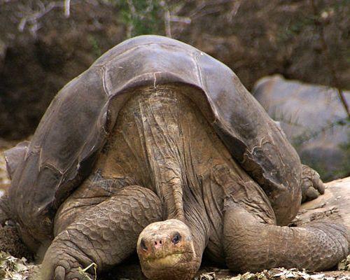 elefántteknős, óriásteknős
