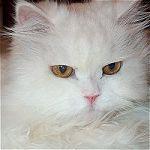 hofeher-cica