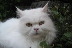 Franci, a macska