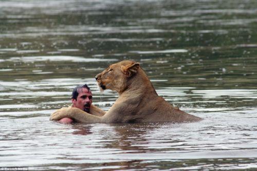 vadon, élő, oroszlán
