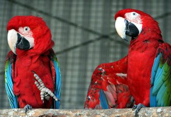 ara, papagáj, nőstény
