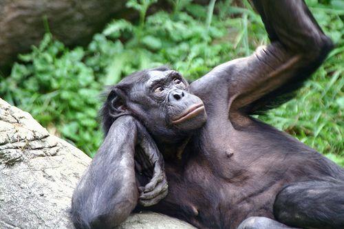 szex, bonobo, majom