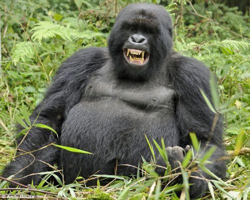 részeg. gorilla, bambusz
