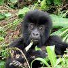 Bambusztól részegedtek le a hegyi gorillák