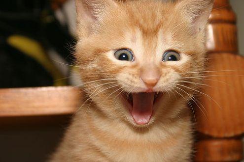 cica, aranyos, macskakölyök