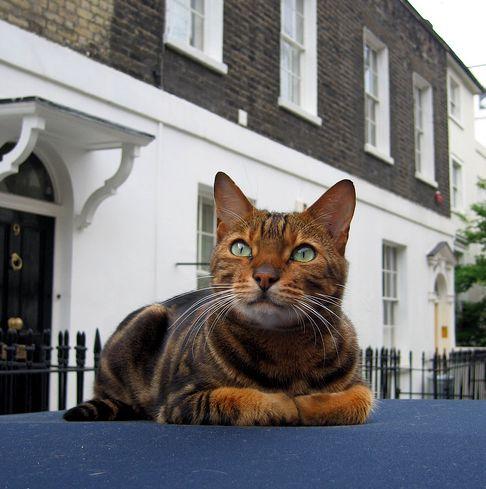 macska, terrirtórium, ház