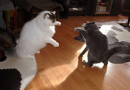 macska, felségterület, lakás