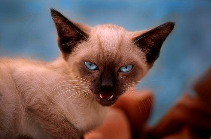 macska, támad