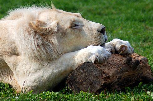 feher-oroszlan