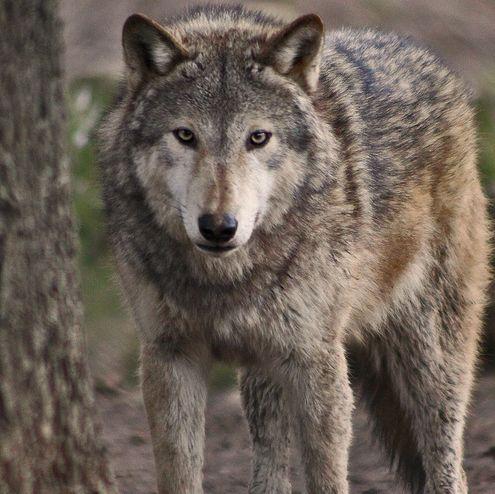 szürke, farkas, kutya