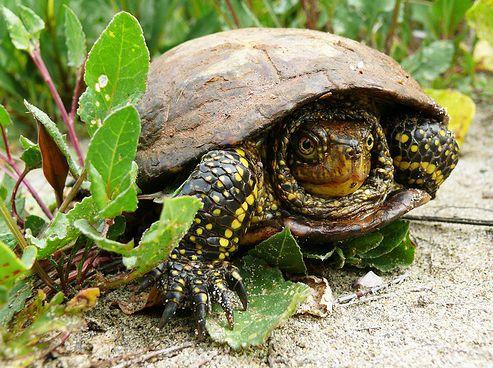 mocsári teknős, hüllő