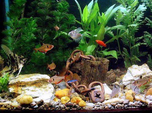 lakás, akvárium, hal