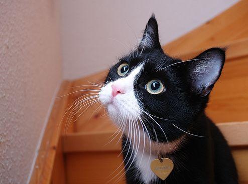 kíváncsi, macska, cica