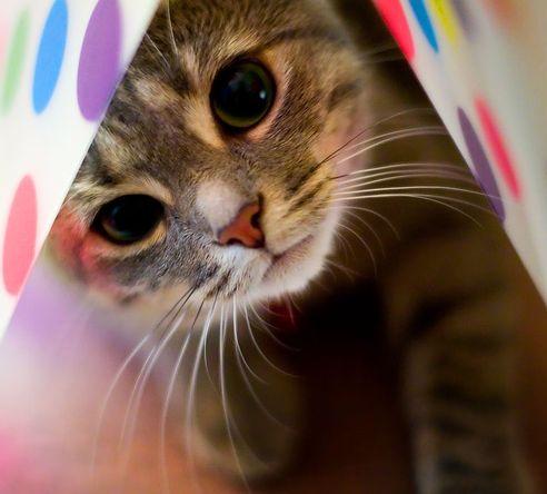 cica, macska, méreg