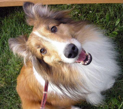 sheltie, shetland, kutya