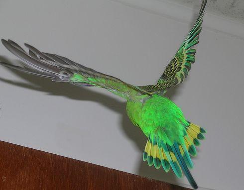 ajtó, madár, papagáj