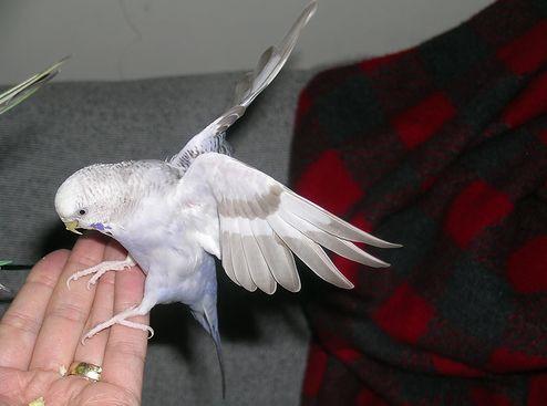 papagáj, szabadon, kézhez