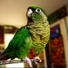 Szabadon a szobában: a biztonságos madárröptetés receptje