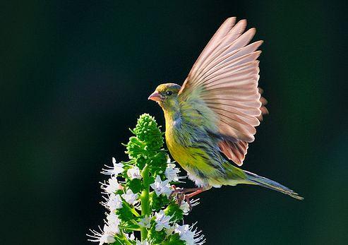 kanari-enekes-madarak