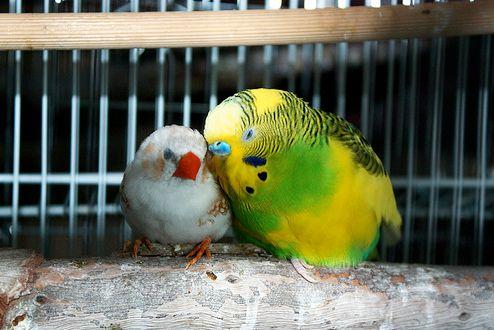papagáj, pinty, kalitka