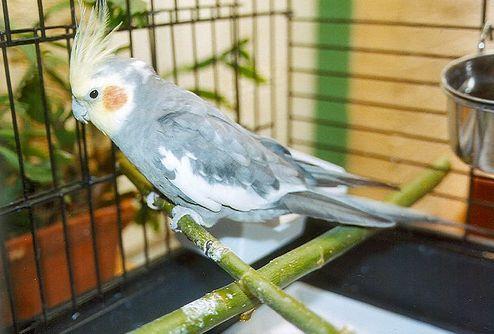 madár, kalitka, tisztaság