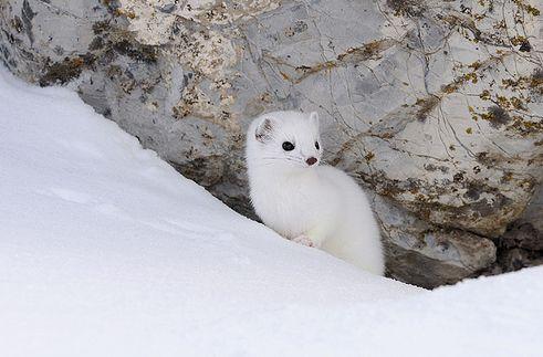 hermelin, prém, tél