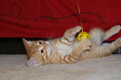 macska, játszik, kiscica