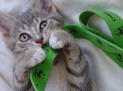 kiscica, kismacska, játszik