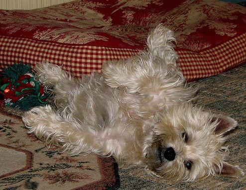 kutya, cairn terrier, kutyakölyök
