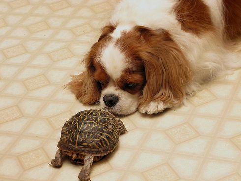 Cavalier King Charles, spániel, kutya