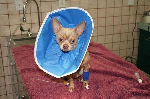 ivartalanítás, műtét, kutya)