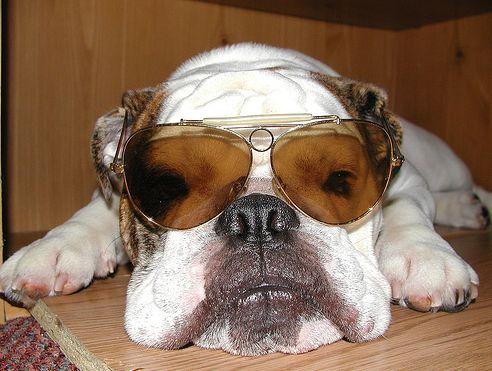 kutya,napszemüveg