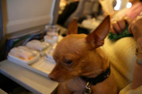 kutya, csivava, repülő