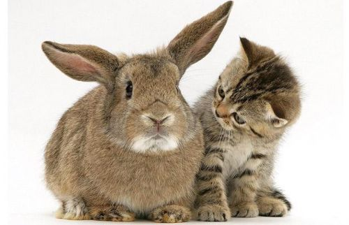 nyúl, nyuszi, cica