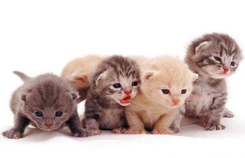 macska, cica, kölyök