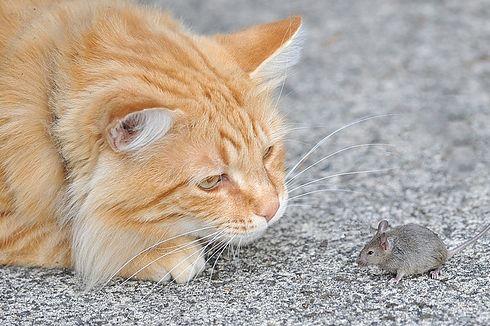 macska, cica, betegség
