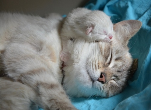 kitten-with-mom-2633283_640