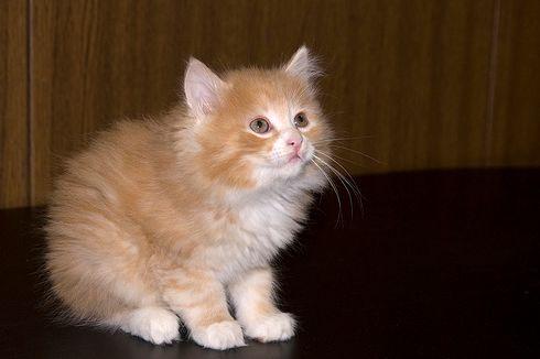 bobtail, cica, macska