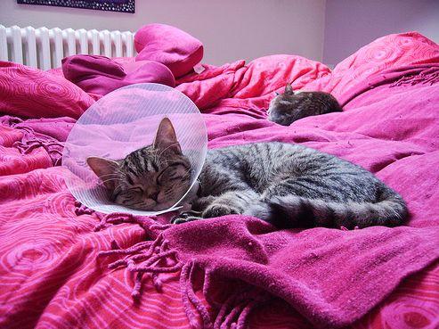 macska, ivartalanítás, műtét
